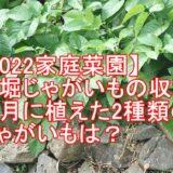 【2022家庭菜園】早堀じゃがいもの収穫!11月に植えた2種類のじゃがいもは?